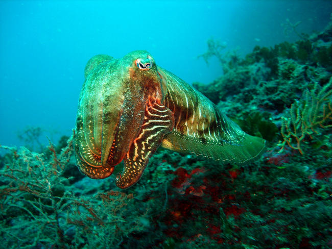 Cephalopode
